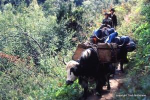 """crew with yaks Bhutan"""