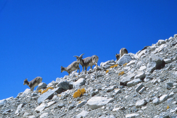 Bharal, native blue sheep of the Himalaya