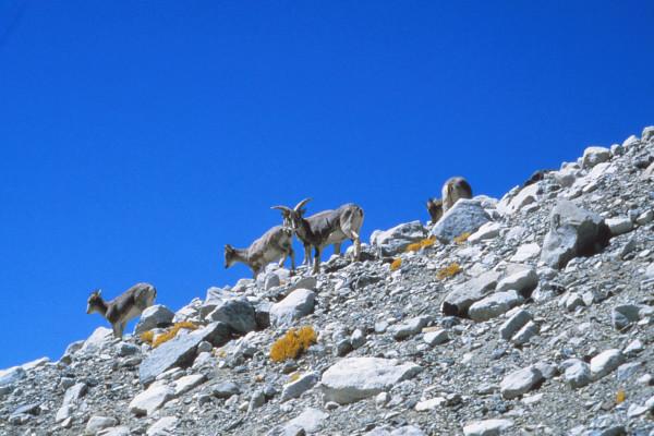 Bharal, native blue sheep of the Himalaya
