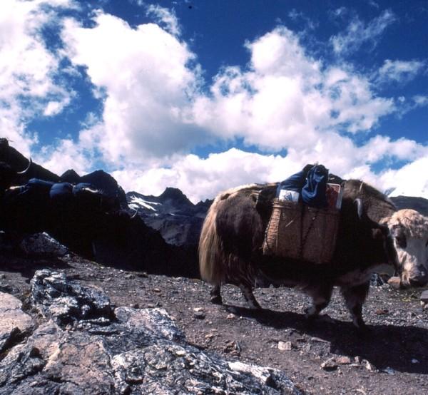 yak in Journey in Bhutan