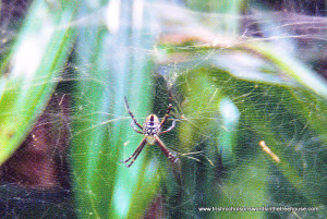 Papua New Guinea spider in web