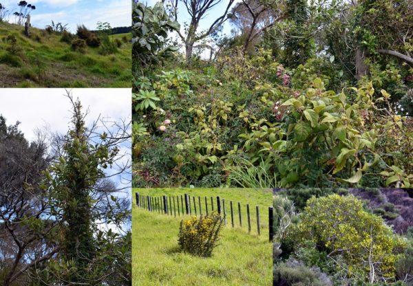 Invasive weeds in new zealand landscape