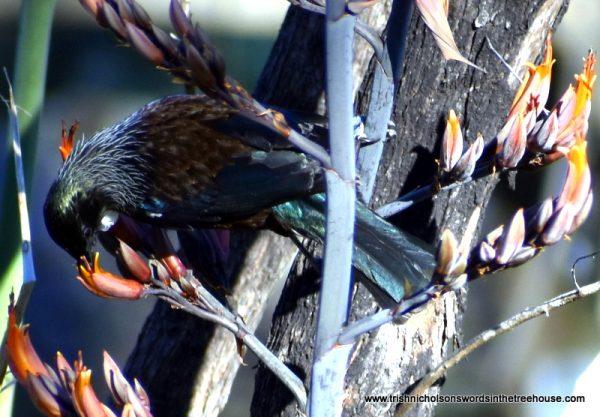 tui bird feeding off flax seeds
