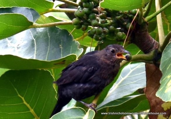 blackbird eating puka fruit