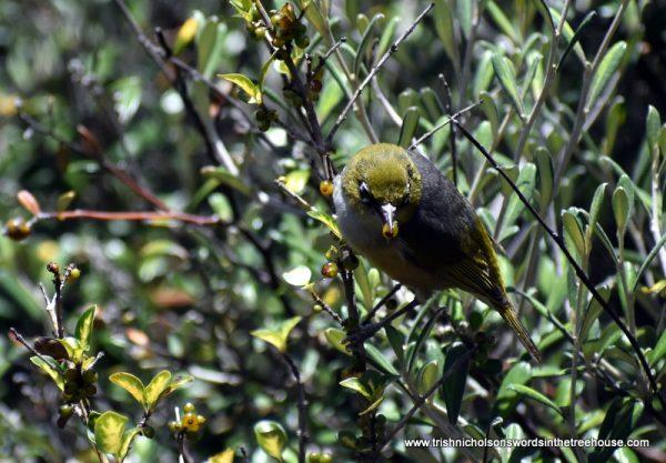 white-eye feeding fledgling