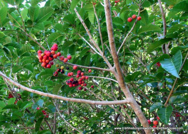 Puriri tree (Vitex lucens) laden with berries