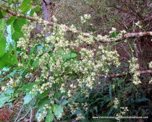 kohekohe (Dysoxylum spectabile) New Zealand native tree tree