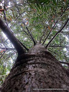 juvenile kauri tree