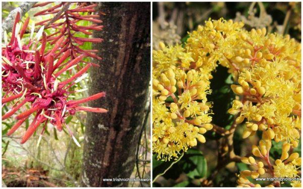 rewarewa and pomaderris blossoms