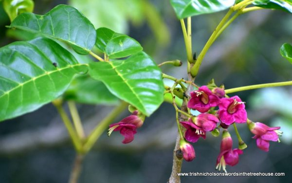 puriri flowers in the five acre forest
