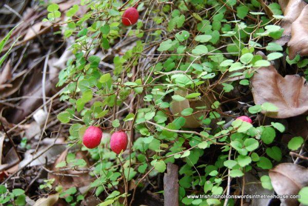 Fuschia procumbens in fruit