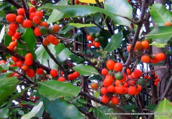pigeonwood berries