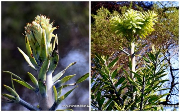 Terminal bud on kauri ttree in the five acre forest