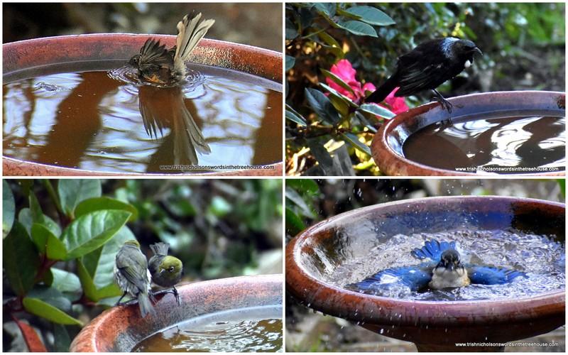 birds bathing in the birdbath