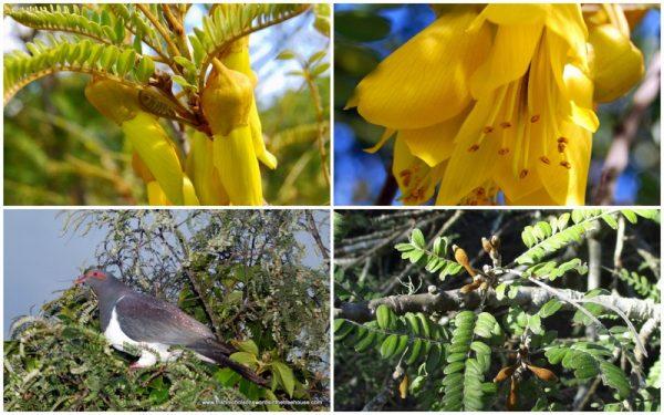 kowhai flowers and kereru