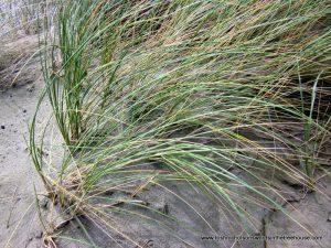 Native pingao grass stabilises shifting sands.