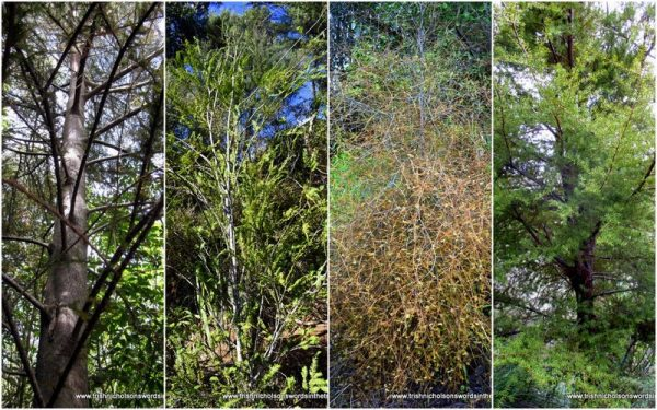 nz native forest trees